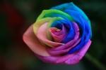 a-single-rainbow-rose-by-INTVGene
