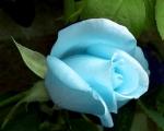 beautiful.blue_rose
