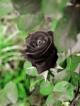 Black_Rose_II_by_looking_for_hope