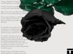 blackrosewallpaper1024x768