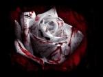 blood_rose