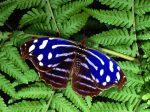blu.butterfly.178999