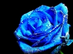 Blue-Rose-daydreaming-17376644-1024-768