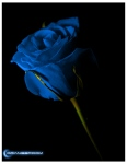 blue roses pictures (6)
