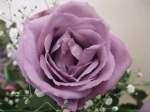 Blue_purple.Rose_APPLAUSE