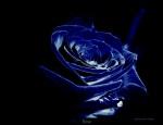 Blue_Rose3272