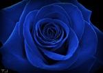 blue_rose_by_typhaniej-d3a6nbk
