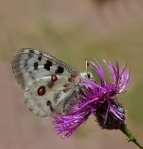 borboleta.Apollowik