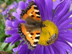 borboleta.flor.lilás