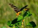 borboletas-negra-e-planta-15007