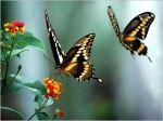 borboletas_ameacadas