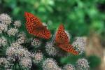 butterflies-mnj