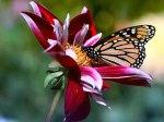 butterflies_-_23