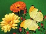 CBAW.co.cc - Beautiful Butterflies Wallpaper (26)