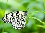 CBAW.co.cc - Beautiful Butterflies Wallpaper (54)