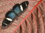 CBAW.co.cc - Beautiful Butterflies Wallpaper (82)