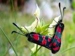 Cymothoe_hobart_Butterflies