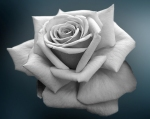 dark-rose-lovely-flower-31001