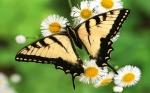 fond.ecran.papillon-006