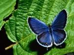 free-butterfly.wallpaper-10