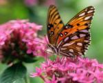 fundo-de-ecran-borboletas