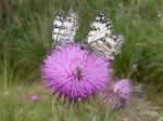 immagini-di-farfalle-2