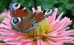joyrulez.com-farfalle06