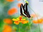 linda.borboleta.pic-10593