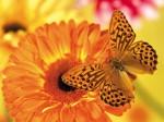 orange_butterfly_attracted_to_orange_flower