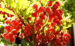 Papel-de-Parede-As-flores-do-Japao--