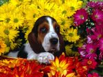 Papel-de-Parede-Cachorro-na-Cesta-de-Flores