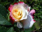 Papel-de-Parede-Flor-Rosa mesclada