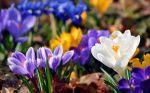 Papel-de-Parede-Flores-Crocus-Diversas-Cores