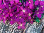 Papel-de-Parede-Flores-roxas
