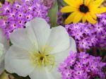 Papel-de-Parede-Primula-e-Outras-Flores_1152x864