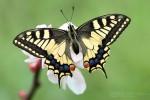 Papilio_machaon-1200
