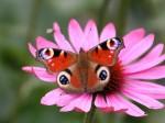 peacock_butterfly_desktop_wallpaper_29478