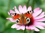 peacock_butterfly_flower-1600x1200