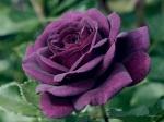 Purple Rose Wallpaper