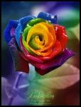 rainbow.rose.fs_375366557_35849_1244123448