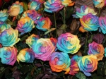 rainbow-roses-by-Madrigal-Photography