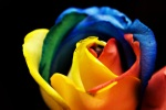 Rainbow_Rose_3366550029