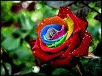 Rainbow_Rose_by_oconer