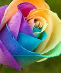 Rainbow_Rose_by_SonjaMY