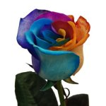 Rainbow_Rose_D_350