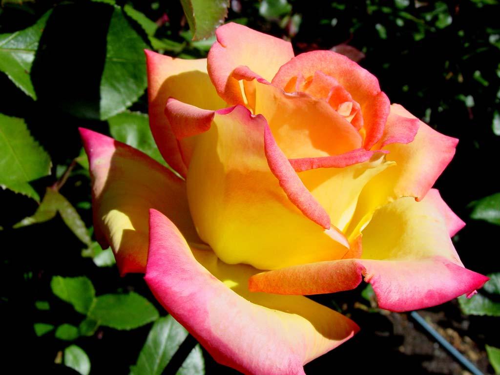 Роза чайная картинки