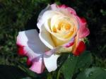 rosa.mesclada.mixed.rose.mixed.colors.4