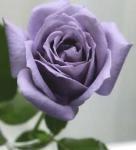 rosa roxa