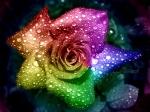 rosaarcoiris454794