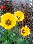 tulipa.amarela.aberta
